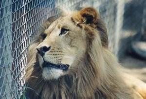 lion_en_cage